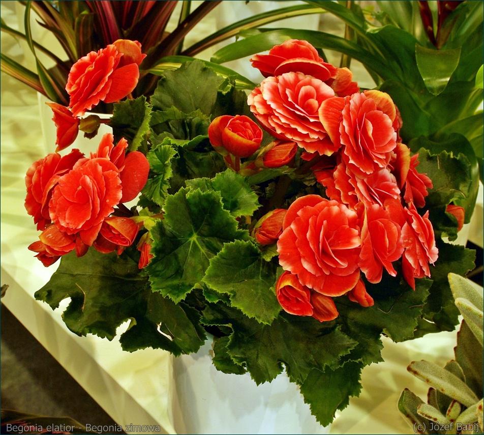Begonia elatior - Begonia zimowa pokrój