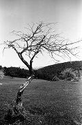 Üvez Ağacı