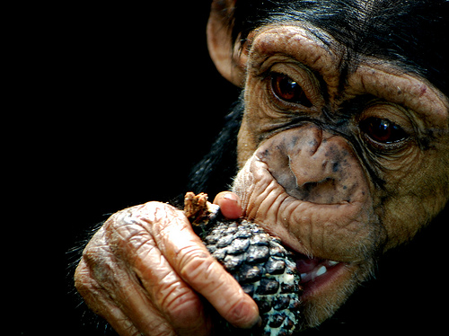 What Do Chimpanzees Eat And Drink