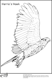 harris hawk flying coloring pages