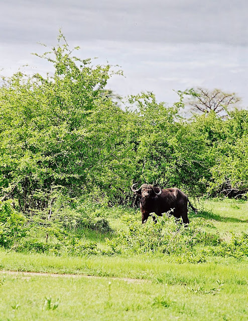 wild buffalo in ruaha national park