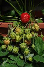"Erdbeer ""Wandplantage"""