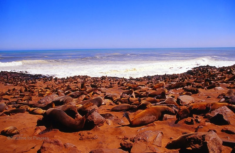 south african fur seal colony in Namibia