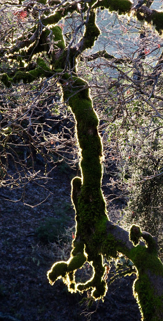 Sunlight shimmering through the moss of an oak tree.