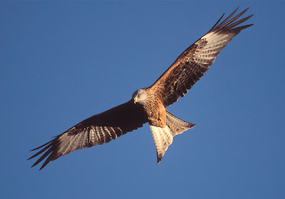 Red kite Bird