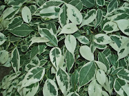 Ficus benjamina variegata