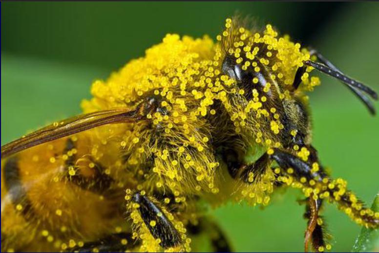 polen de albine