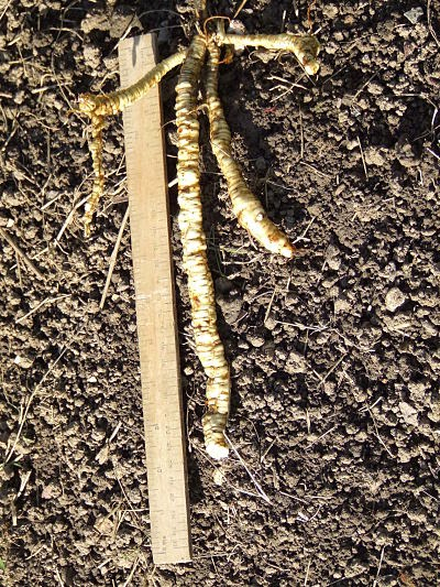 Broken skirret root - 25cm long.