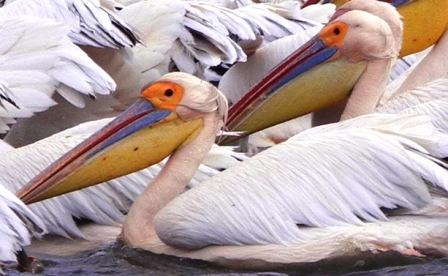 Image result for Cute Pelican