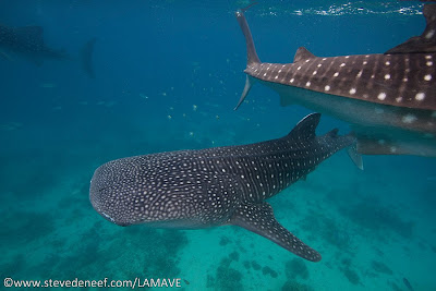 Whale sharks in Oslob, Cebu, Philippines