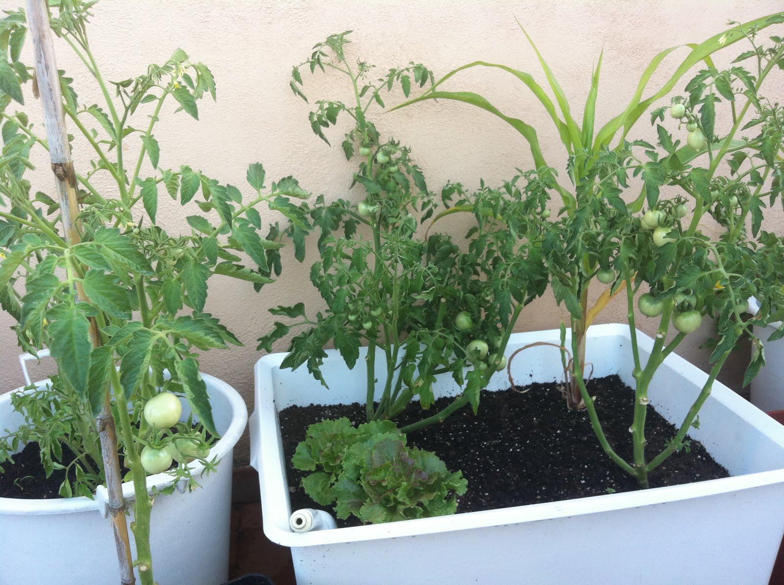 El huerto de macetilla vista general y cosechas - Tomates cherry en maceta ...