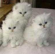 http://buka-mata.blogspot.com/2012/05/tips-cara-merawat-kucing-persia.html
