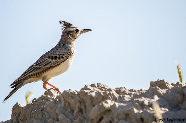 bird on the hillock at Tal Chappar Wildlife Sanctuary Rajasthan