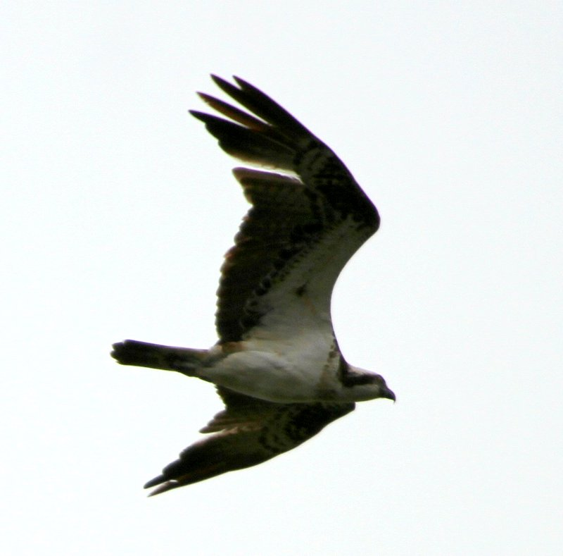 Fly Flatts Osprey