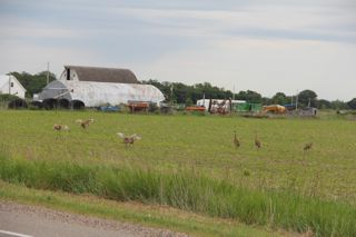 photo of sandhill cranes dancing in farm field