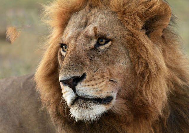 Fotosafari in Kenia. Safari miit Uwe Skrzypczak und D.M. Tours in der Masai Mara.