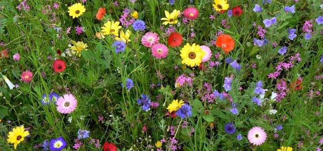 fiori di campo prato fiorito
