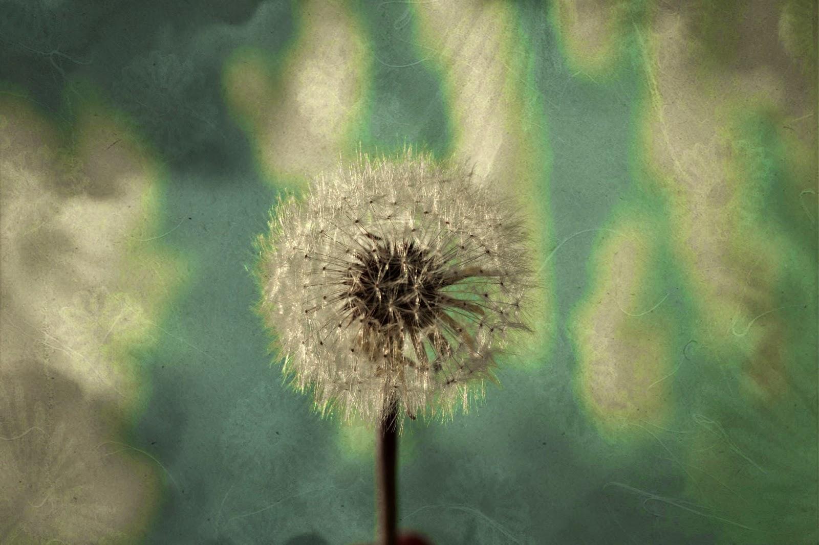 Dandelion Art photography