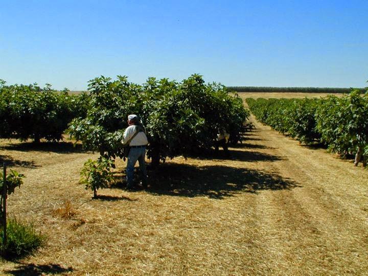 u pick figs portland