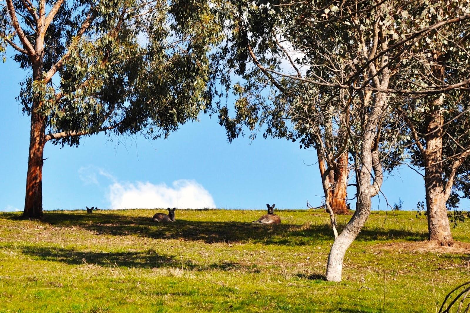 hiking outdoors nature kangaroo