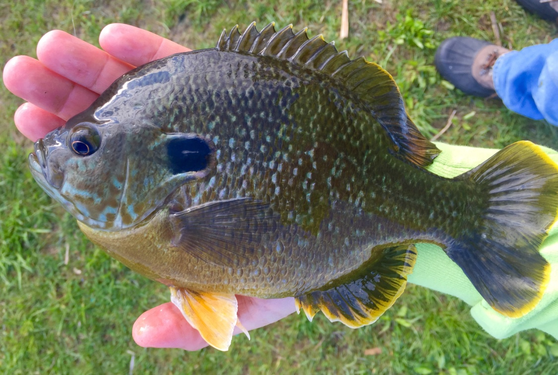 Fishndave 33 iowa species on fly rod for Fishing in iowa