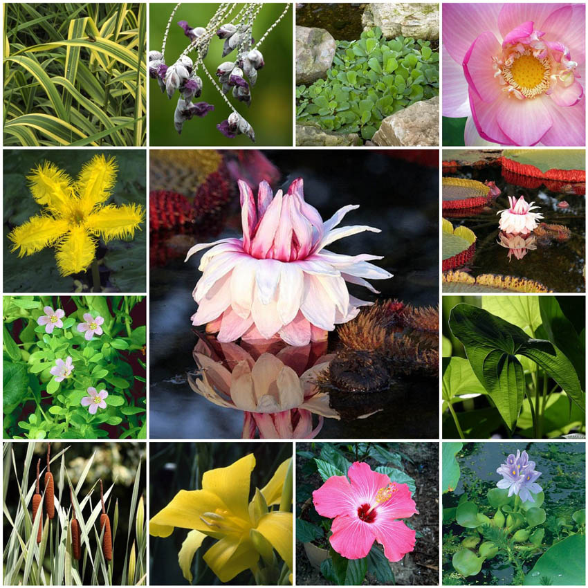 Aquascape your landscape aquatic plant beauties for Where to get aquatic plants