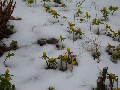 Eranthis hyemalis / Winterlinge / Kar Çiçeği