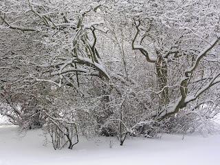 snötäckt träd foto: Reb Dutius