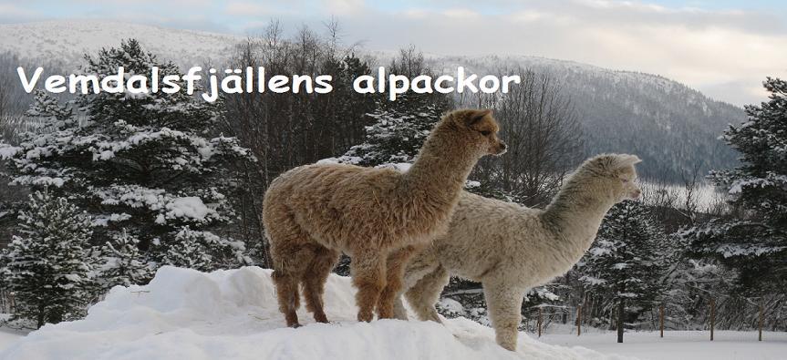 Vemdalsfjällens alpackor