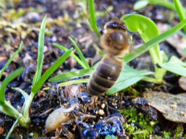 abeilles des landes froid de fin mars et r duction du nid couvain. Black Bedroom Furniture Sets. Home Design Ideas