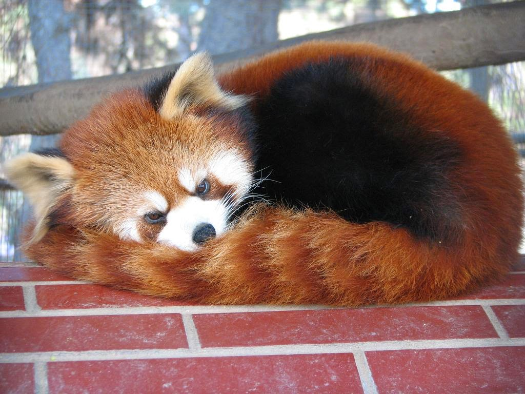 40 Adorable red panda pictures (40 pics), red panda with angry face