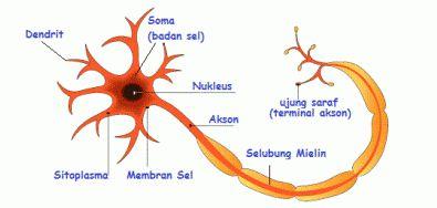 Pengertian dan Fungsi Sistem Saraf pada Manusia, Bagian-bagian Sel Saraf dan Mekanisme Kerja Sistem Saraf