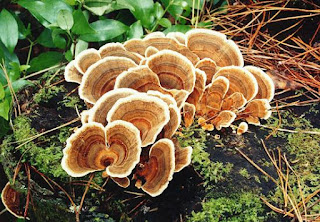 A turkey tail mushroom growing on a log.