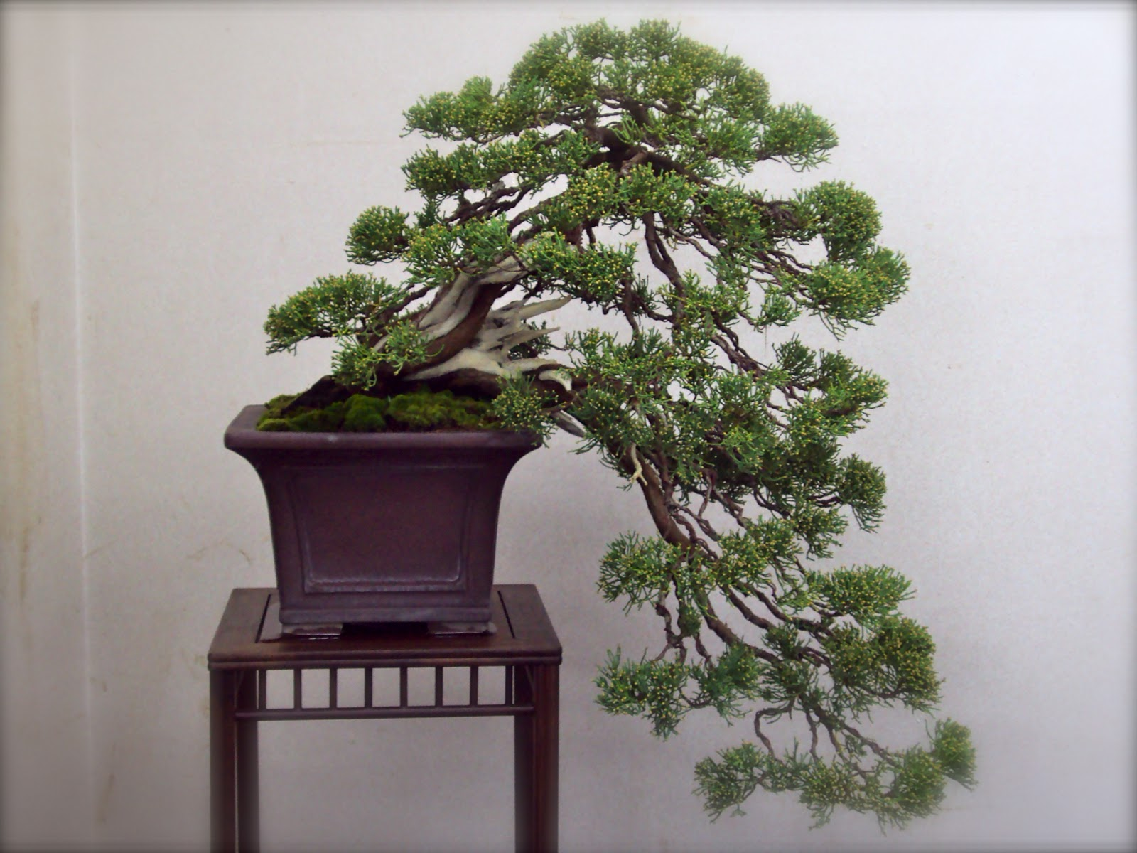 Top unique bonsai trees gallery for Unique bonsai trees