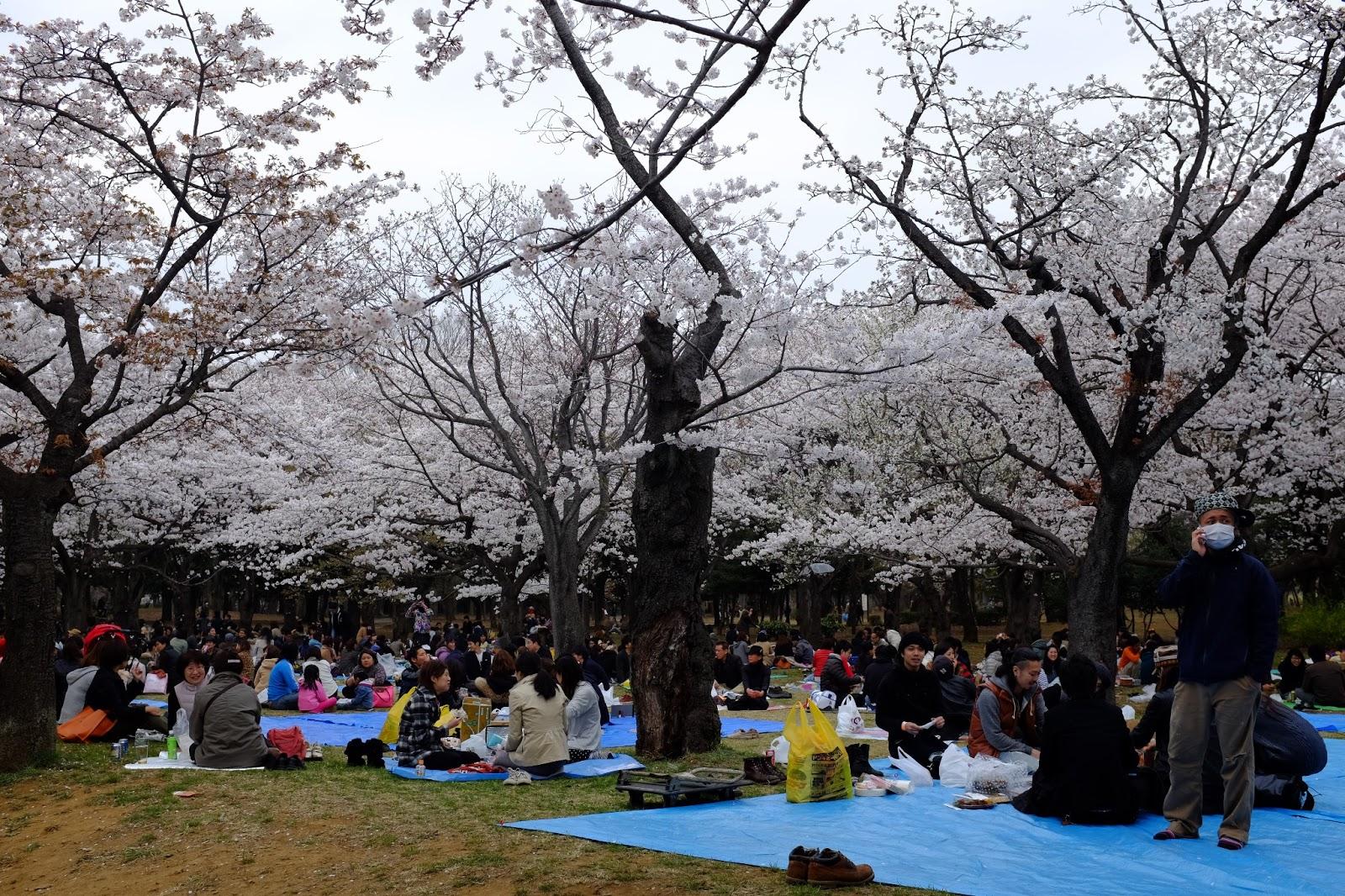 Sakura Hanami at Yoyogi Park - 代々木公園花見 my haru