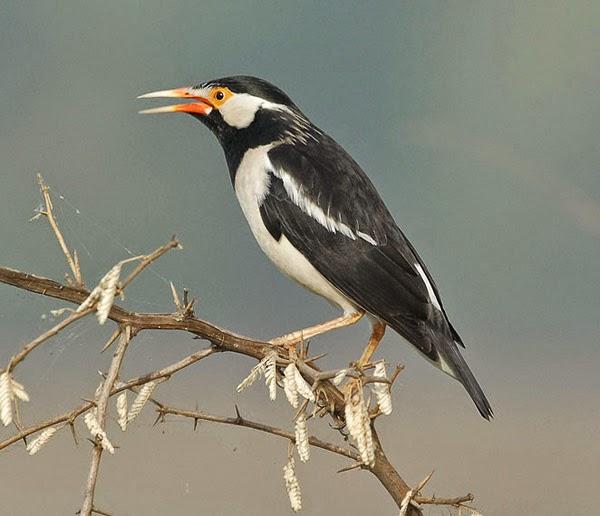 Foto Burung Jalak Suren Jantan