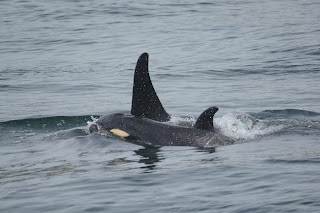 Whale of a Day! Orcas, Humpback and a Minke.