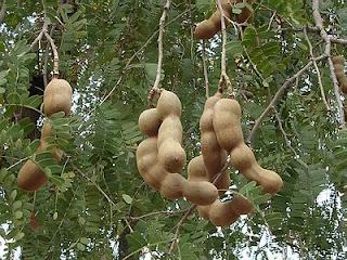 Asam Jawa (Tamarindus indica L)