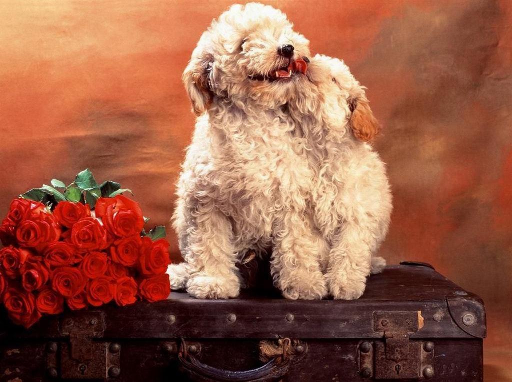 zaljubljeni psići pozadina za desktop za download klikni na sliku