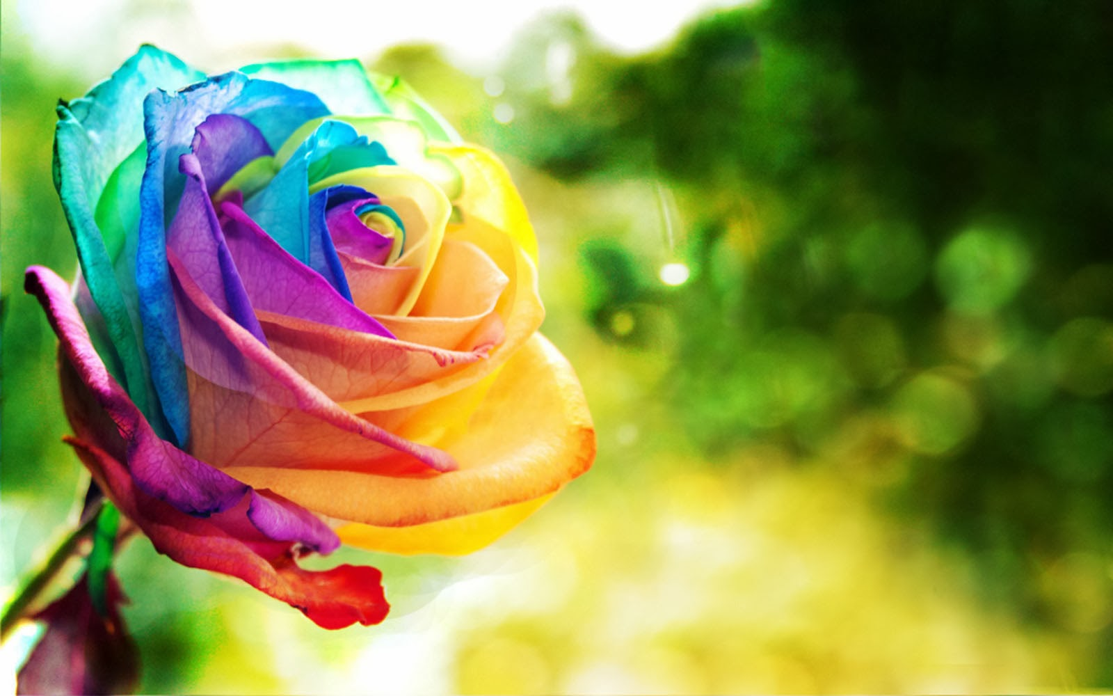 Wallpapers colorful rose wallpapers for Where to find rainbow roses