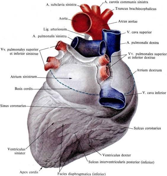 gesundes Herz: Anatomie und Physiologie des Herzens und der Blutgefäße