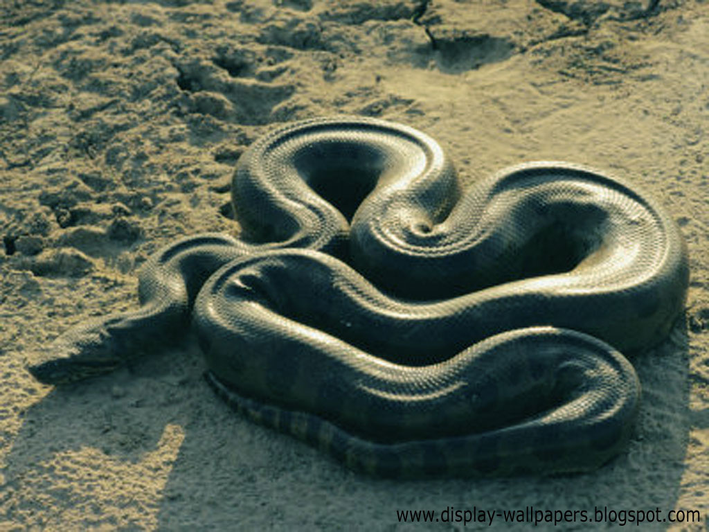 Showing picture big snake hd wallpapers lovely
