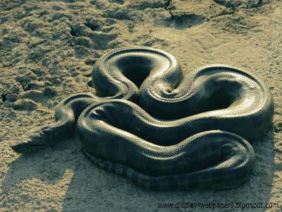 Great Anaconda Snake Wallpapers