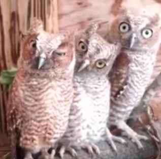aaowl An owl
