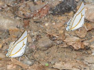 Great Nawab (Charaxes (Polyura) eudamippus eudamippus)