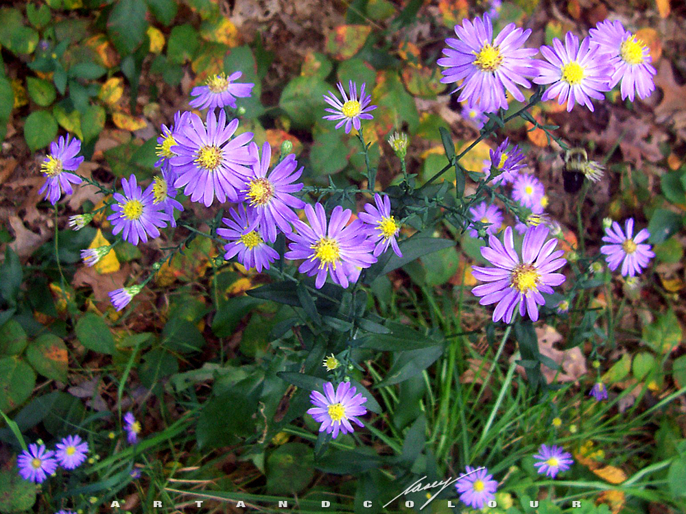 How to Grow Aster Perennial Flower Plants, Growing Asters, Aster Seeds
