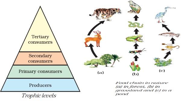Tiger Food Chain Diagram