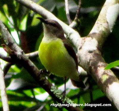 Purple Rumped Sunbird - Female (Scientific name : Leptocoma zeylonica )