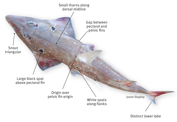 Guitarfish lives under sea for Shark tail fish
