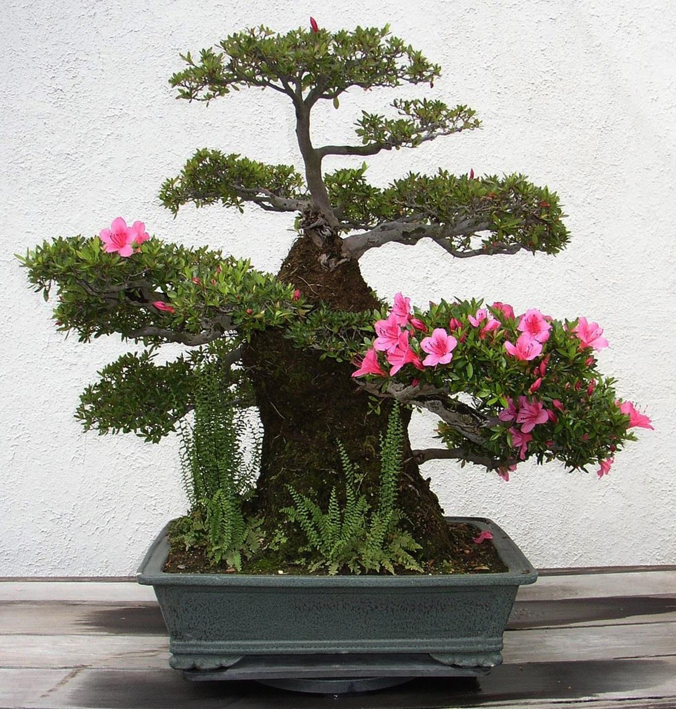Blog do edu ambiental bonsai for Azalea bonsai